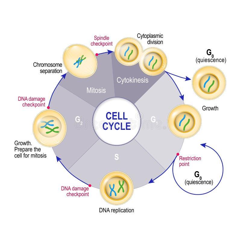 Uppdelning för cell för cellcirkulering stock illustrationer
