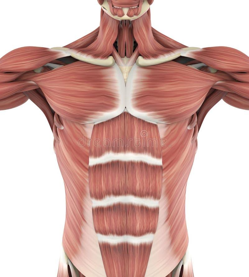 Upper Anterior Muscles Anatomy stock illustration