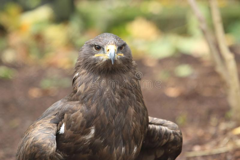 Steppe eagle. The upper body of adult steppe eagle royalty free stock image