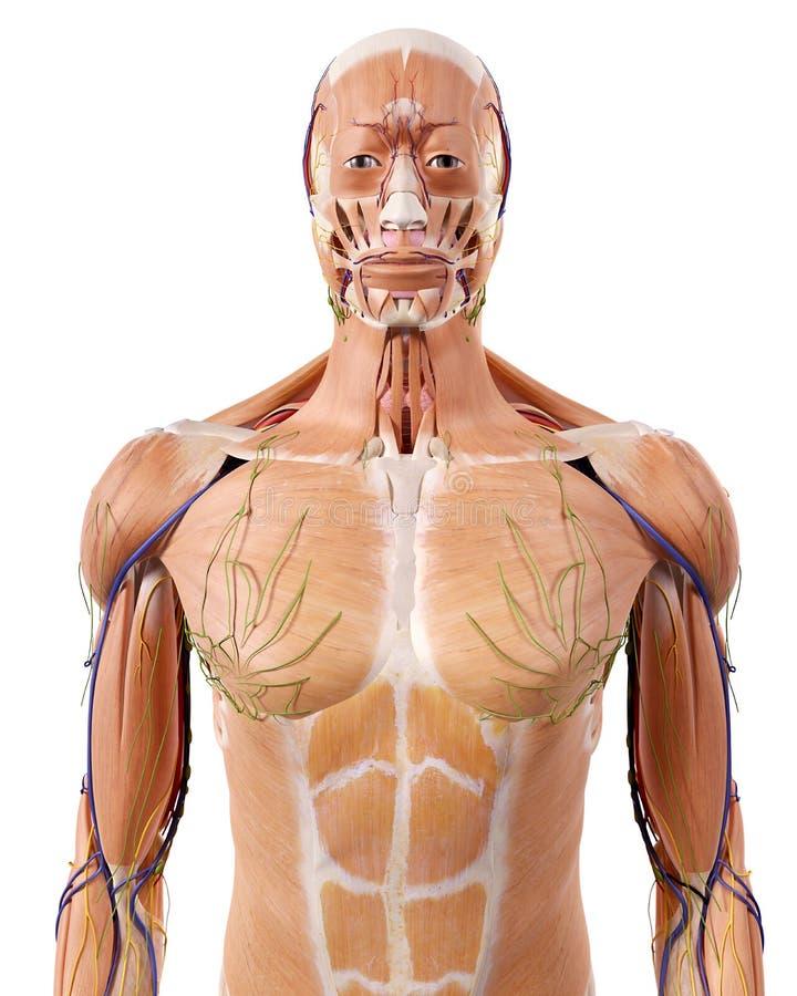 The Upper Body Anatomy Stock Illustration Illustration Of Ligament