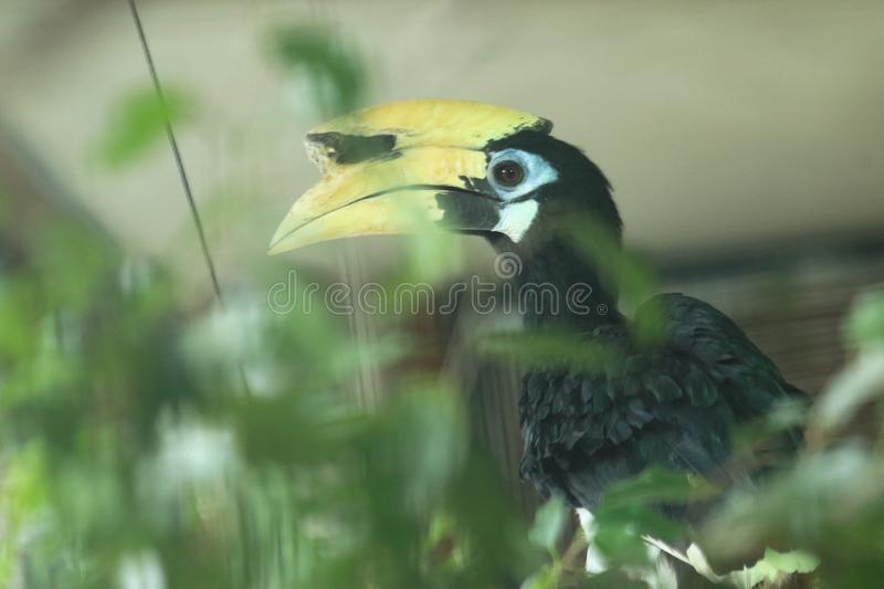 Southern pied hornbill. The upper body of southern pied hornbill royalty free stock images