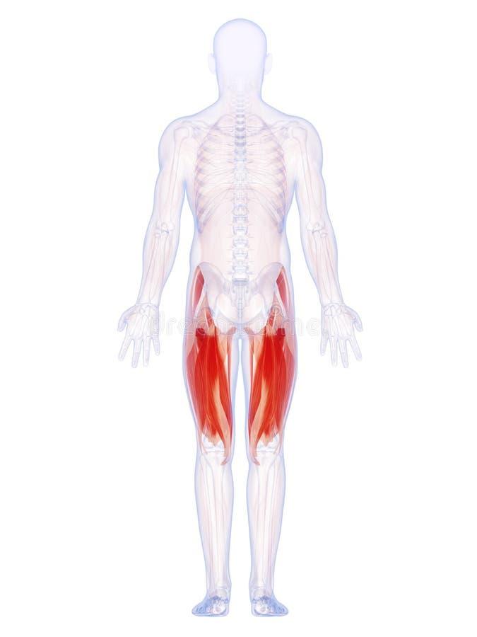 The upper leg muscles. 3d rendered illustration of the upper leg muscles vector illustration