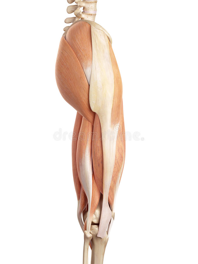 The upper leg muscles. Medical accurate illustration of the upper leg muscles royalty free illustration