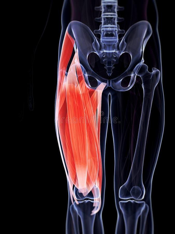 Upper leg musculature. 3d rendered illustration of the upper leg musculature royalty free illustration