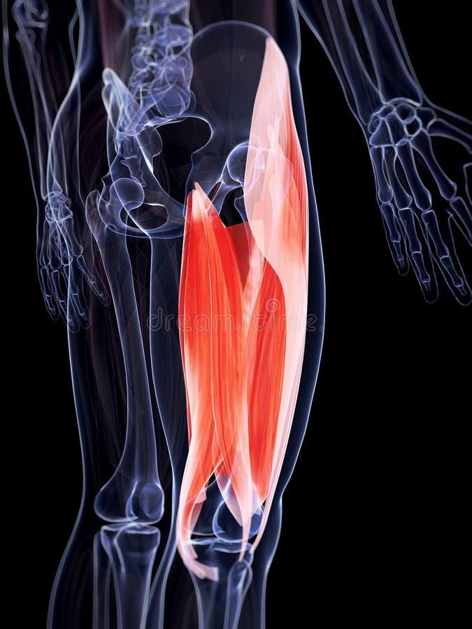 The upper leg musculature. 3d rendered illustration of the upper leg musculature vector illustration