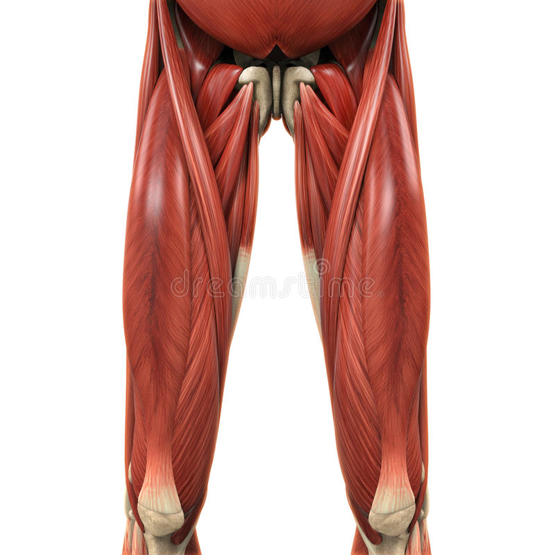 Upper Legs Muscles Anatomy vector illustration