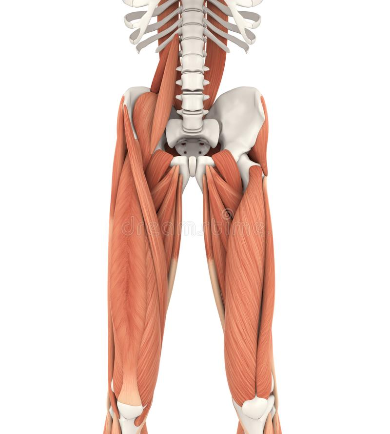 Upper Legs and Psoas Muscles Anatomy royalty free illustration