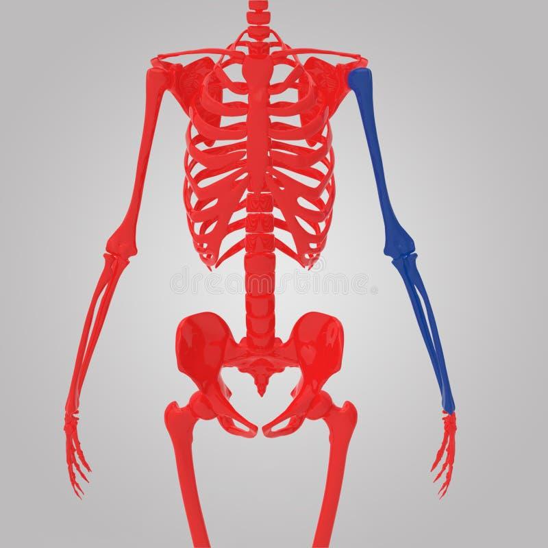 Download Upper limb stock illustration. Image of movements, deltoid - 40870830