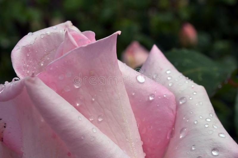 The upper part of the flower bud rose delicate pink. With white color after a rain close up royalty free stock photography