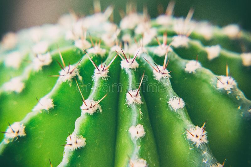 The upper part of the green spiny cactus. View from above. Selective focus stock photos