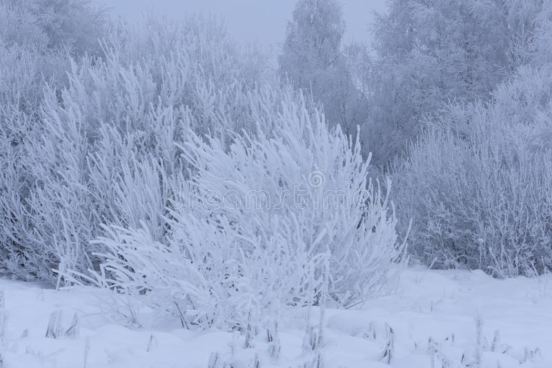 Upper parts of birches covered with snow on the forest edge on background of the cloudy sky royalty free stock photos