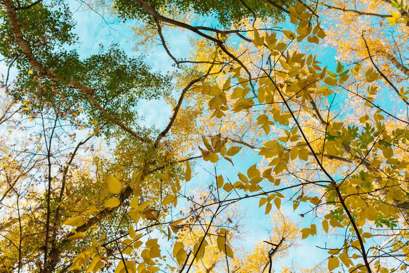 Upper tree branches autumn sunny day on the background of the blue sky stock image