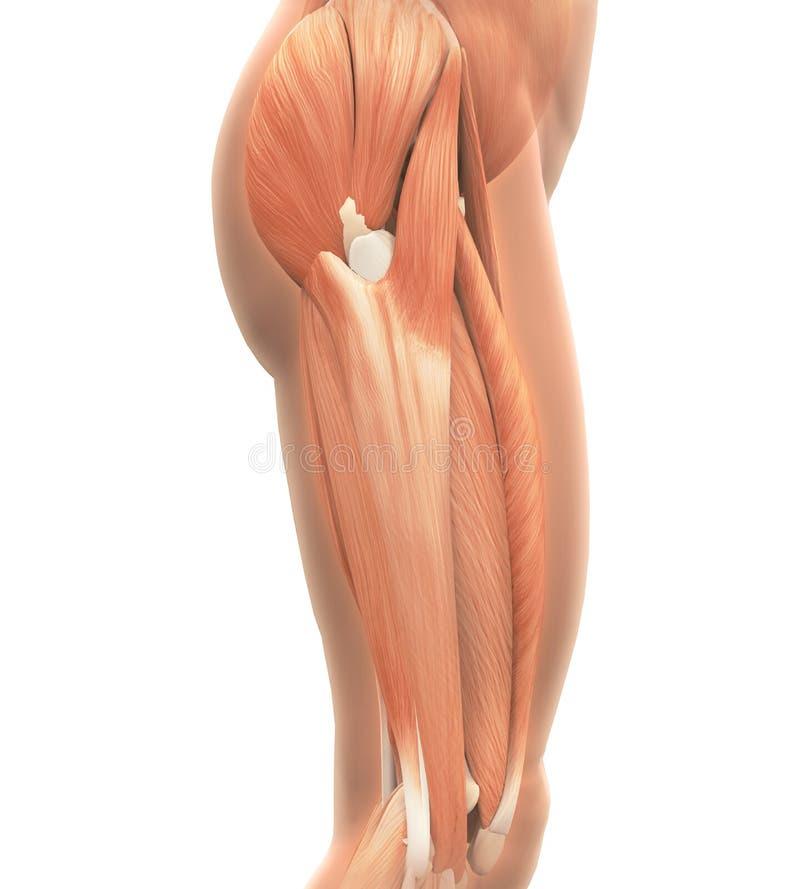 Upperen lägger benen på ryggen muskelanatomi stock illustrationer