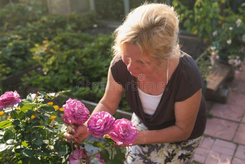 Upphetsad mogen caucasian kvinnlig trädgårdsmästare som att bry sig blomstra buskerosor i gård royaltyfria bilder