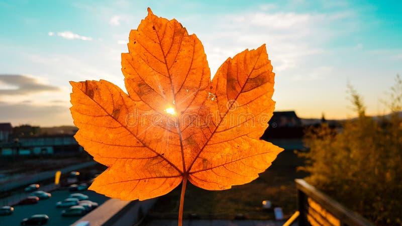 Upplysande och trängande igenom för tanke litet hål för solnedgångljus i rött och gult kulört blad för höst arkivfoton