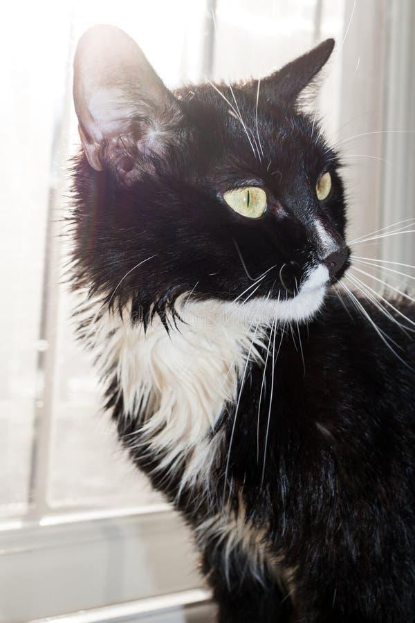 Upplyst vid ljus från svartvit våt katt för fönster arkivbilder