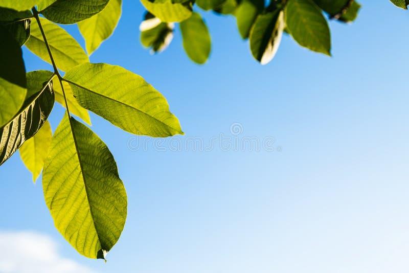Upplysta gröna sidor av valnötträdet royaltyfria foton