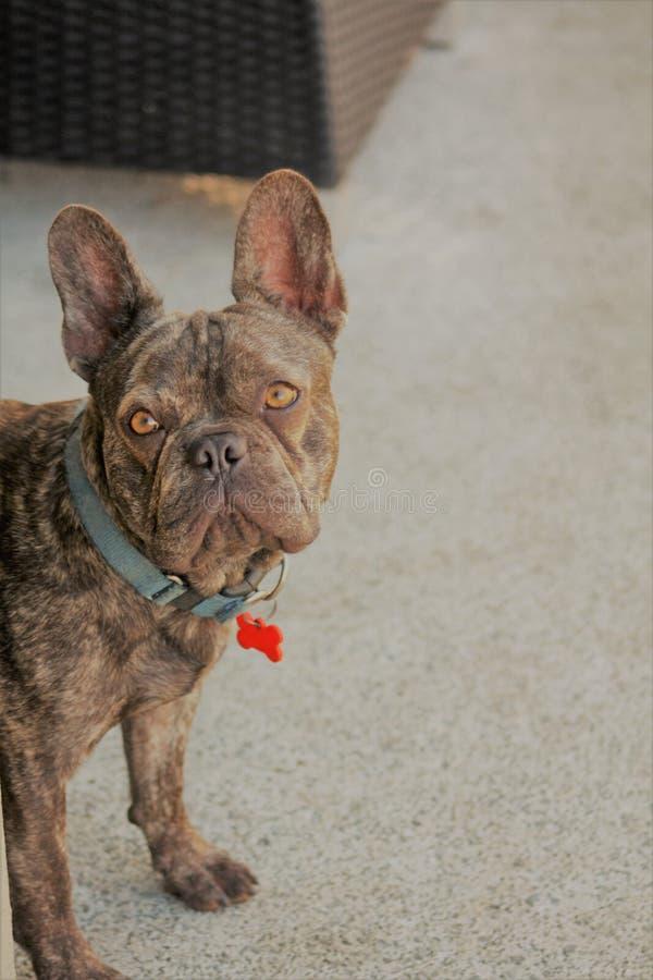 Uppnosig valp för fransk bulldogg med stora öron arkivbild