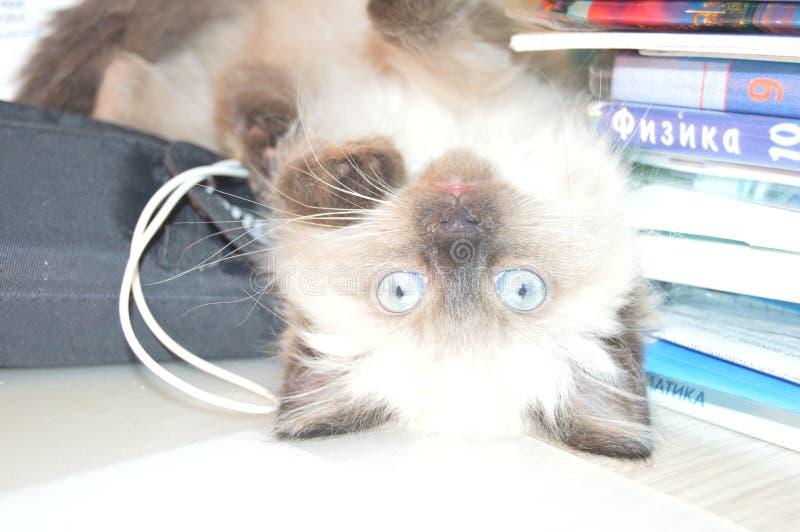 Uppochnervänd härlig och gullig kattunge royaltyfri bild