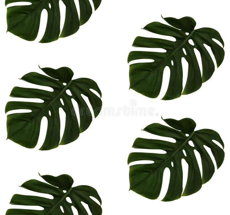 Upprepa gröna ostväxttjänstledigheter, Monstera Deliciosa, på vit bakgrund Verklig fotograferad bild som är sömlös arkivbild