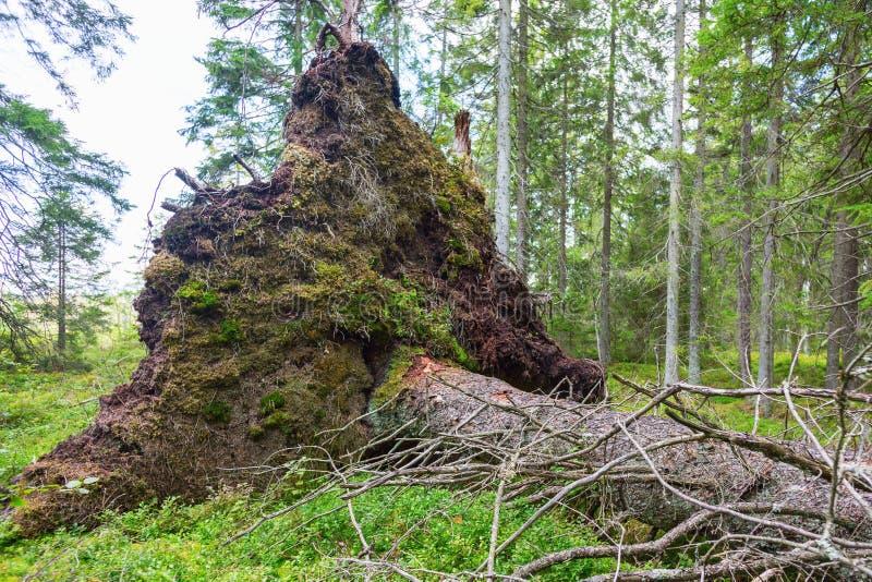 Upprootedboom stock afbeeldingen