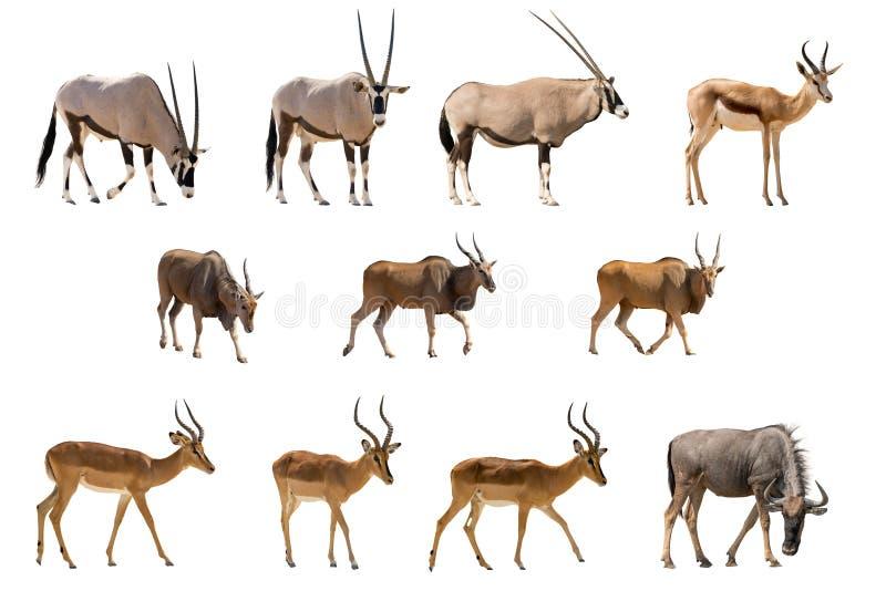 Uppsättning av 11 antilop som isoleras på vit bakgrund arkivbild