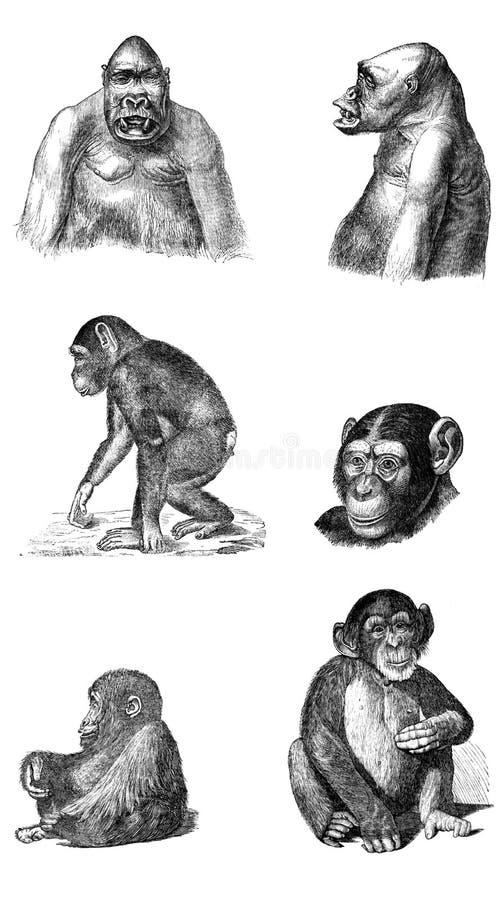 Uppsättning av apor och apor vektor illustrationer