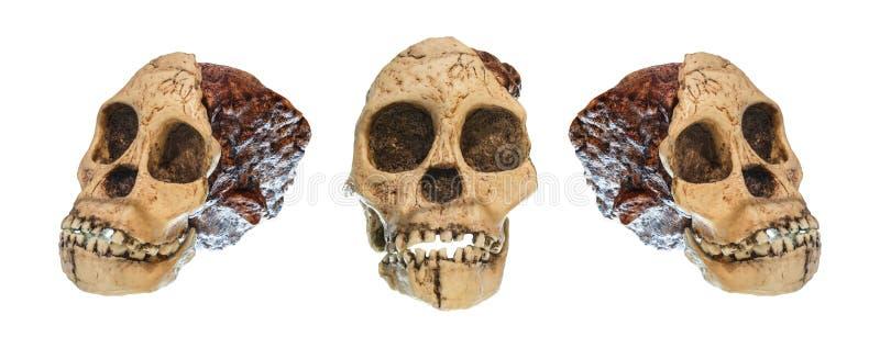 Uppsättning av Australopithecusafricanusskallen Taung barn Daterat till 2 5 miljon år sedan Upptäckt i 1924 i en kalkstenqua fotografering för bildbyråer