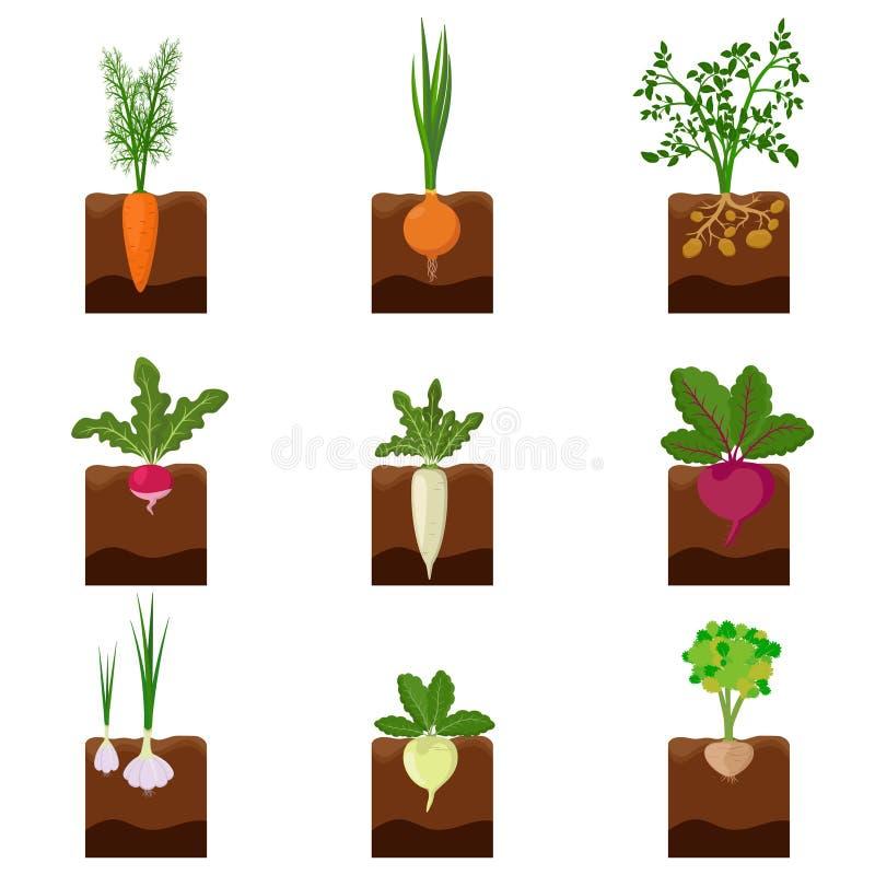Uppsättning av den olika grönsakväxten som växer underjordisk: morot lök, potatisar, rädisa, daikon, beta, vitlök, selleri royaltyfri illustrationer
