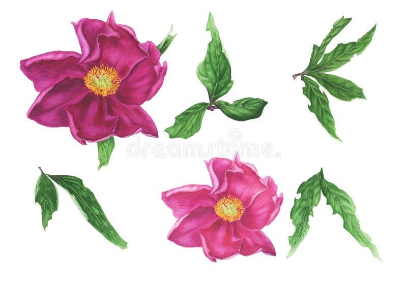 Uppsättning av den rosa pionen och gröna sidor, vattenfärgmålning För designkort och modell vektor illustrationer