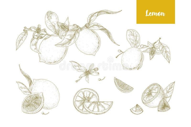Uppsättning av eleganta botaniska teckningar av hela och klippta citroner, filialer, blommor och sidor Ny saftig citrusfrukthand vektor illustrationer