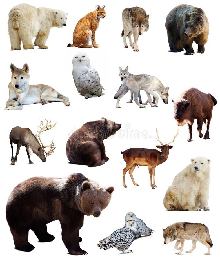 Uppsättning av europeiska djur Isolerat över vit royaltyfri foto