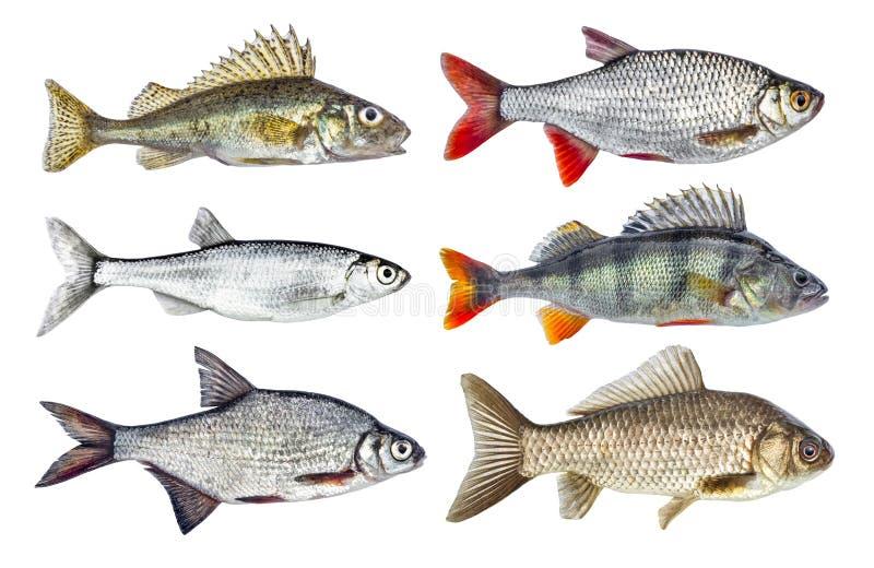 Uppsättning av flodfisksamlingen som isoleras på vit bakgrund royaltyfri foto