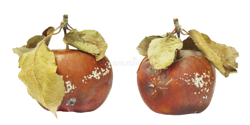 Uppsättning av formen som växer på det gamla äpplet Isolerat på det vita bakgrundsfotoet Matförorening, bad spolierade äcklig rut royaltyfri foto