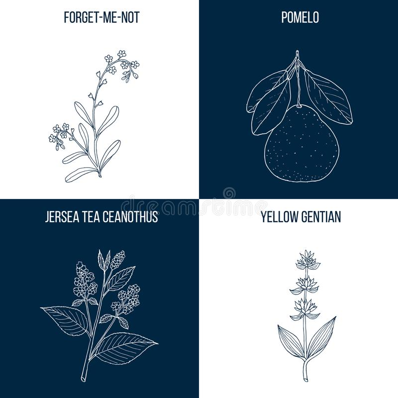Uppsättning av fyra hand drog matvara och medicinalväxter vektor illustrationer