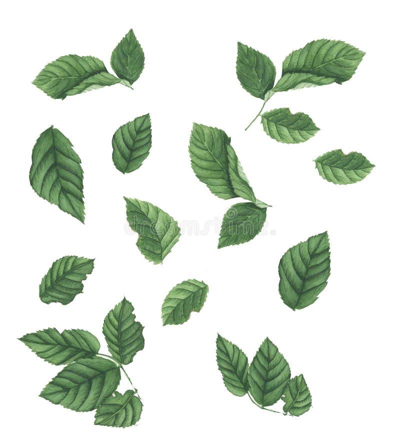 Uppsättning av gröna sidor av rosor, vattenfärgmålning vektor illustrationer