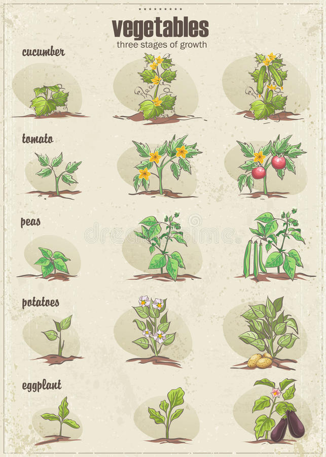Uppsättning av grönsaker med tre etapper av deras tillväxt 2 inställda prydnadar vektor illustrationer
