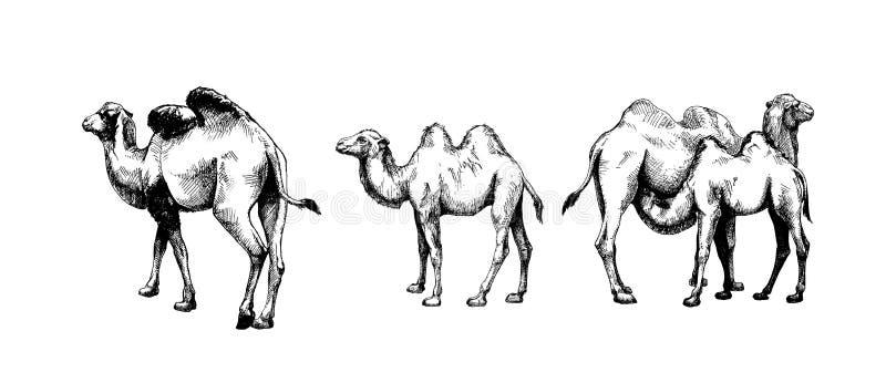 Uppsättning av grafisk kamel och unga kameler royaltyfri illustrationer