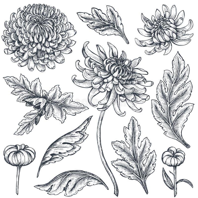 Uppsättning av hand drog krysantemumblommor stock illustrationer