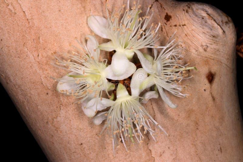 Uppsättning av jaboticabablommor arkivfoto