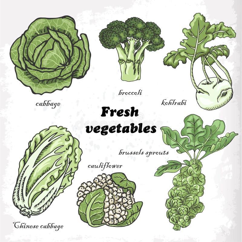 Uppsättning av kålar - blomkål, kinakål, broccoli, Bryssel groddar, kålrabbi vektor illustrationer