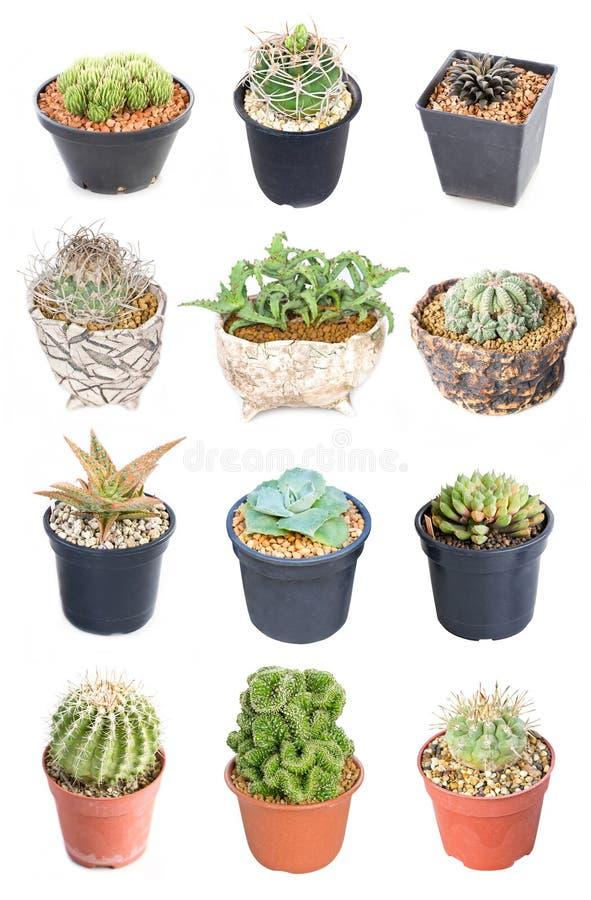Uppsättning av 15 lade in växter för variation kaktus. fotografering för bildbyråer