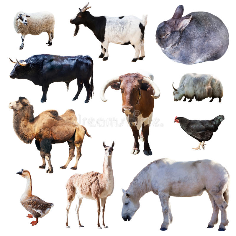 Uppsättning av lantgårddjur. Isolerat på vit royaltyfri bild