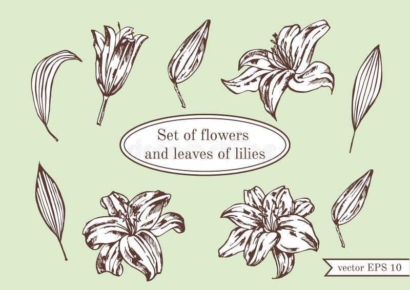 Uppsättning av liljor på grön bakgrund illustratören för illustrationen för handen för borstekol gör teckningen tecknade som look royaltyfri illustrationer