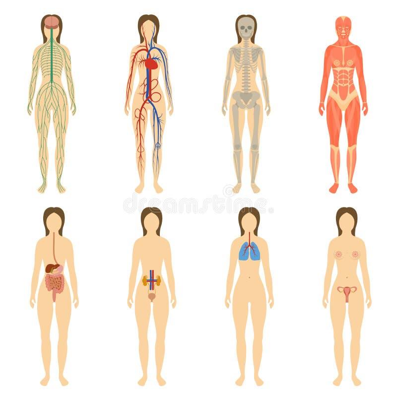 Uppsättning av mänskliga organ och system av kroppen stock illustrationer