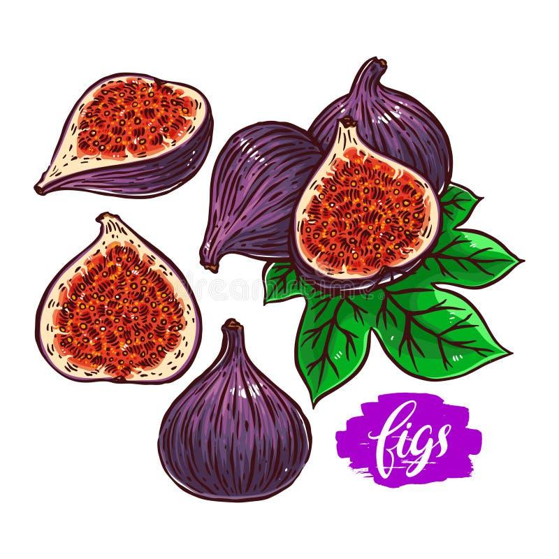 Uppsättning av mogna fikonträd royaltyfri illustrationer