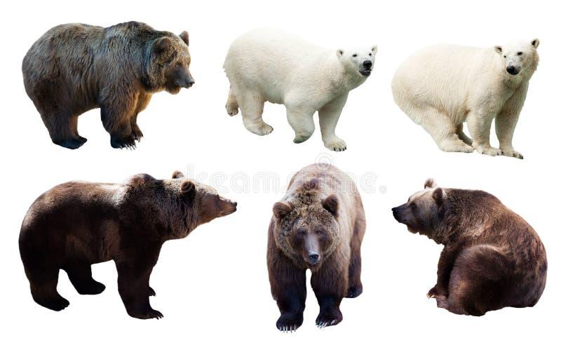 Uppsättning av polart och brunbjörnar arkivfoton