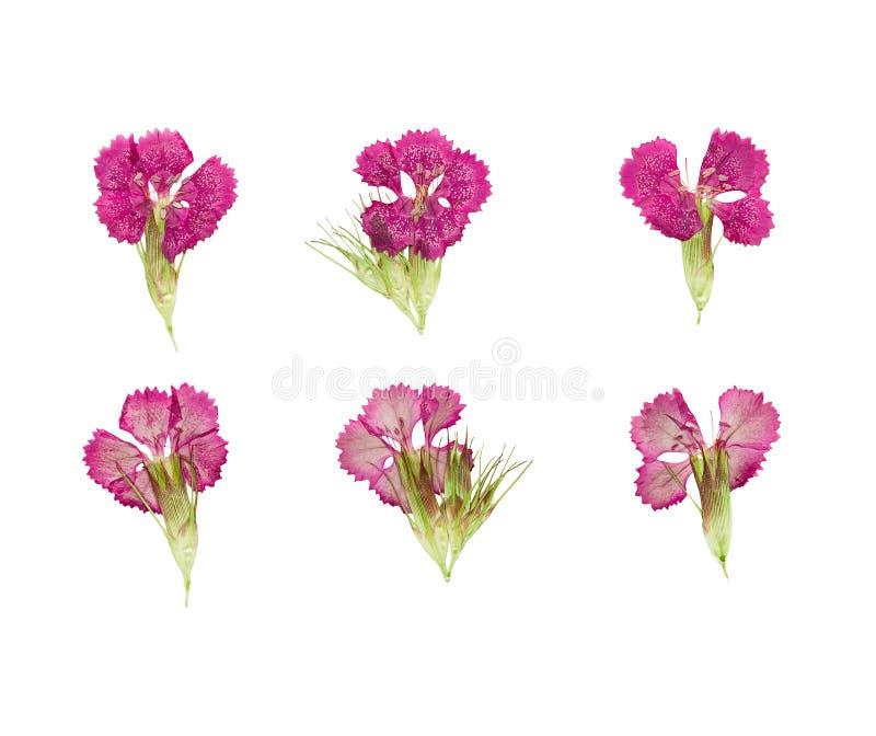 Uppsättning av pressande och torkade magentafärgade blommor sötsak-william (dianthus royaltyfri foto