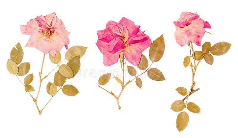Uppsättning av pressande små torkade rosor royaltyfri fotografi