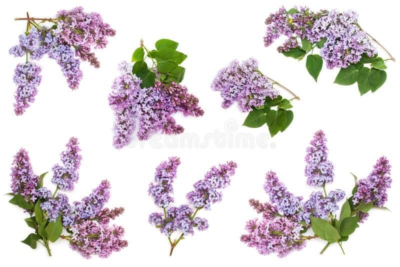 Uppsättning av purpurfärgade lilafilialer för blomning som isoleras på vit bakgrund royaltyfri bild